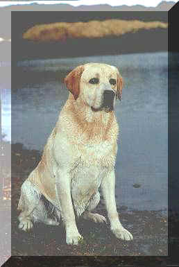 labrador retriever dual